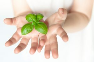Fresh basil leaves blooming in a young child open hands. Shallow DOP, focus on the leaves. Caucasian child of about 3 year's old, white background. Horizontal studio shot in natural light. Copy space.